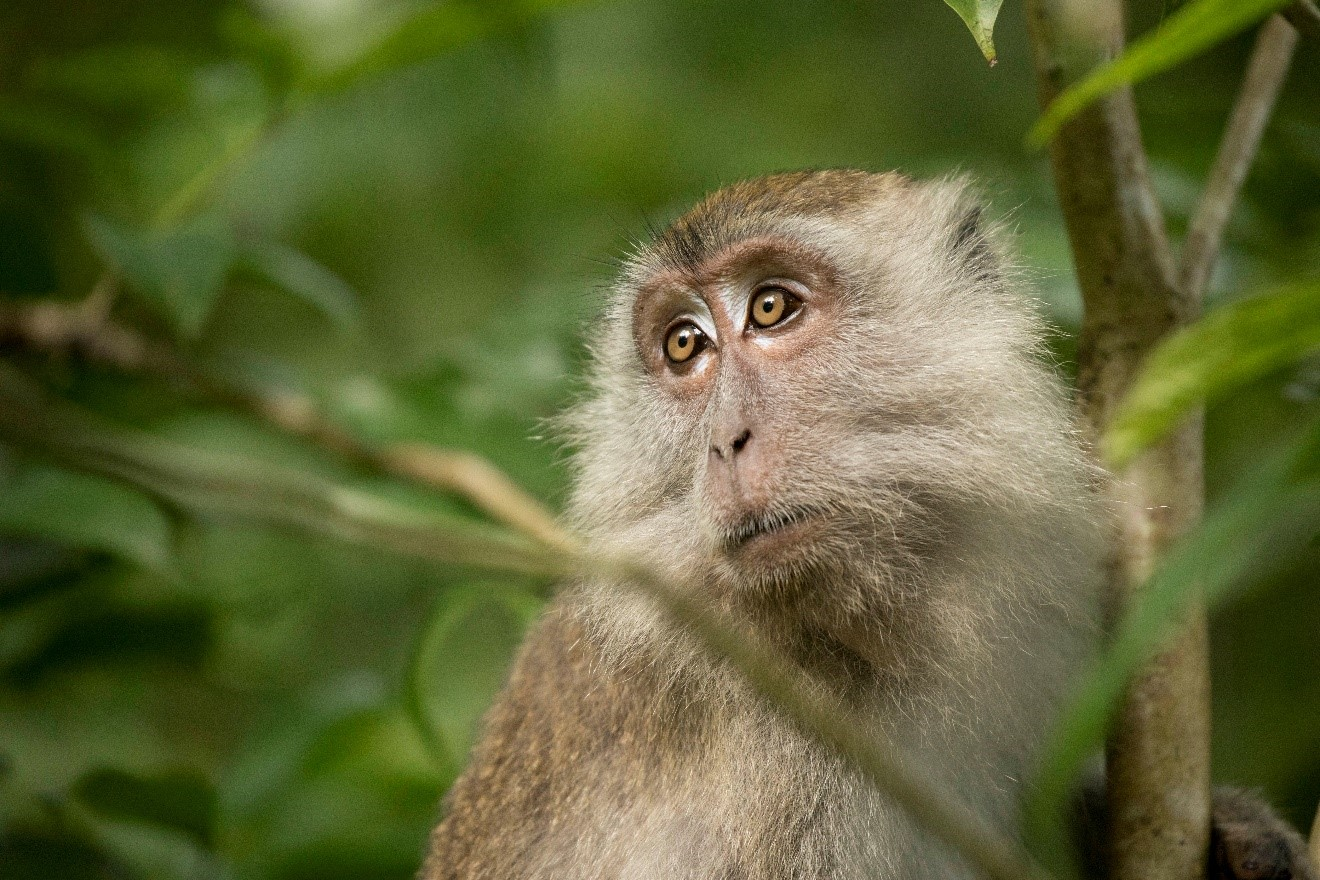 a long-tailed macaque gazes up from resting in Bako National Park in Borneo