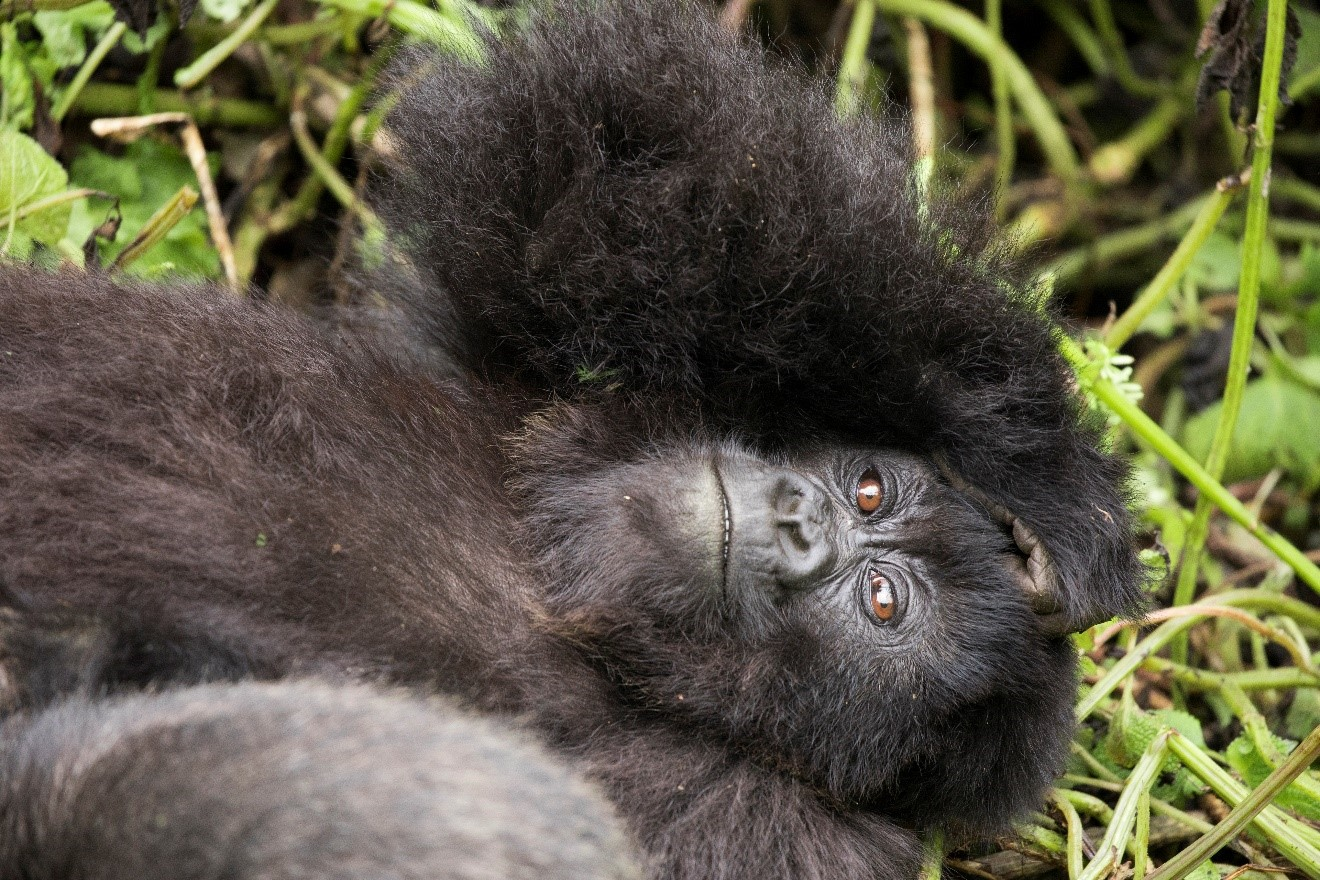 a young gorilla peers skyward while resting in Rwanda