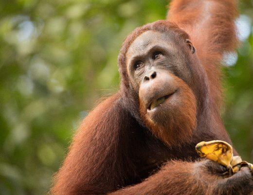 a male orangutan looks skyward while eating at Semenngoh Center in Borneo