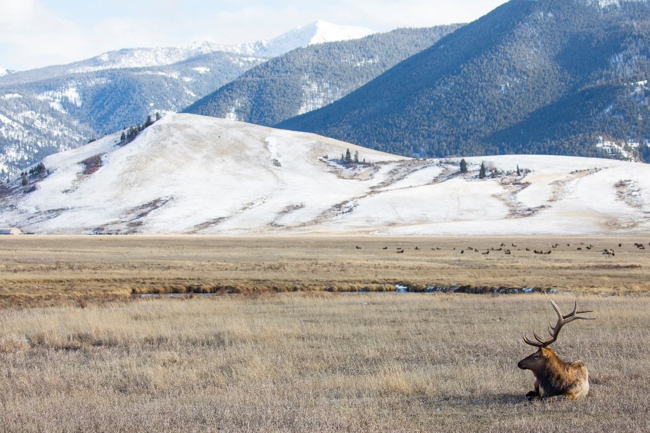 a solo male elk sits in the national elk refuge near jackson, wy