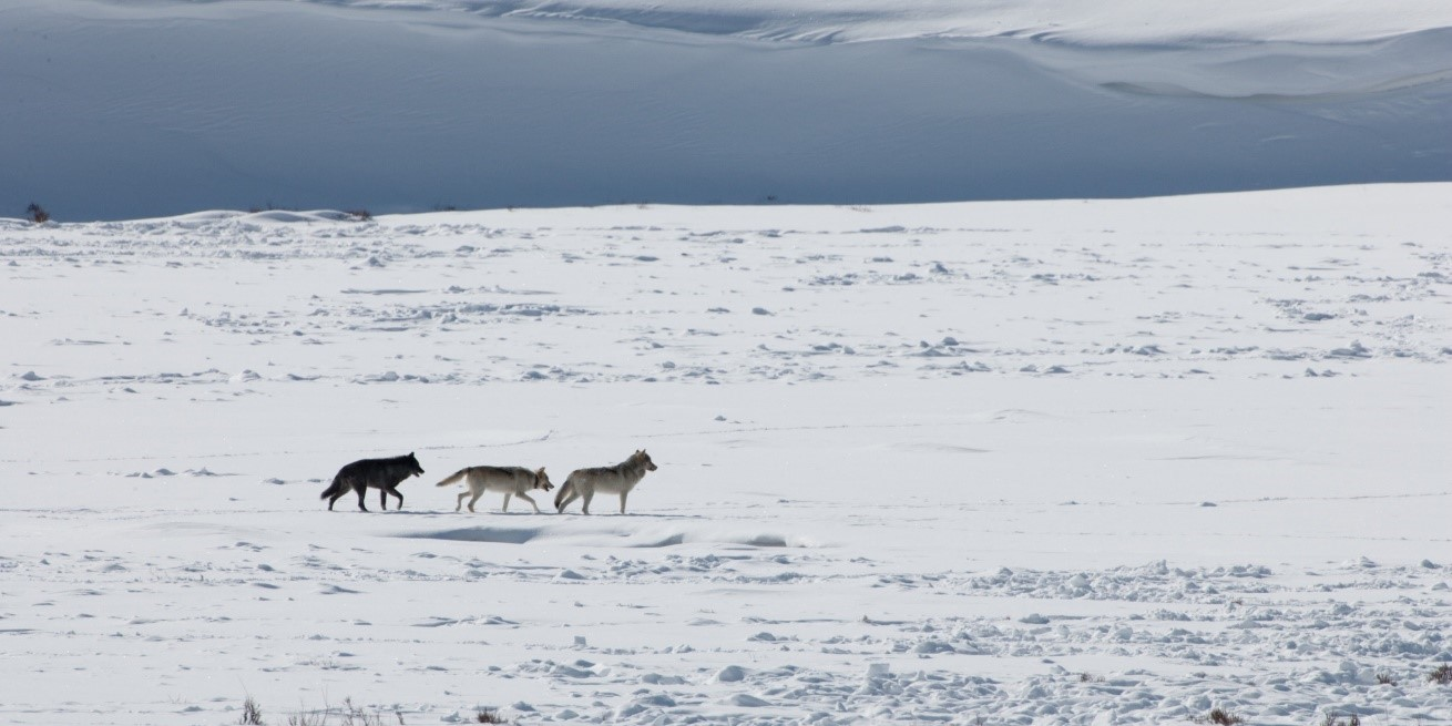 a small pack of wolves traverses the landscape of lamar valley