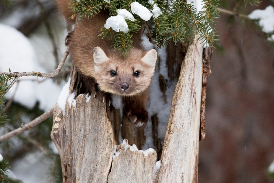 a curious pine martin looks briefly at the photographer in the forest outside of cooke city