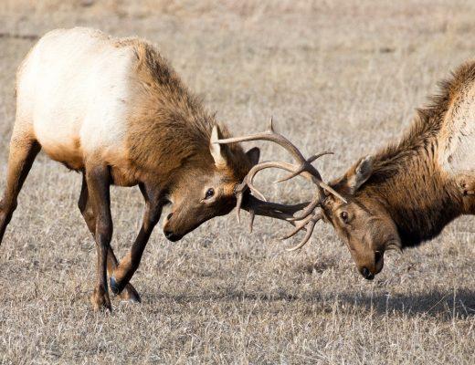 two bull elks lock antlers in the national elk refuge outside of Jackson WY