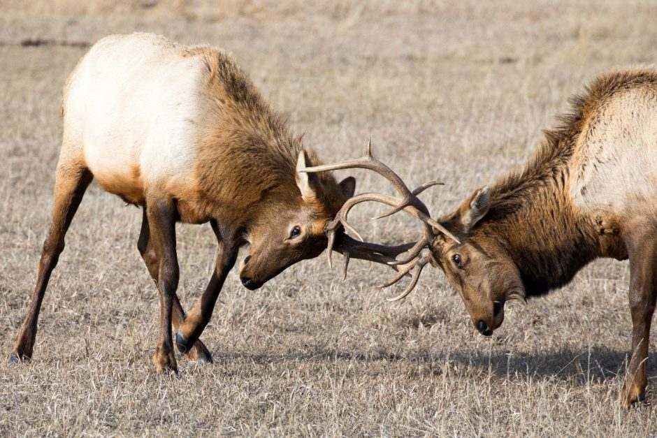 two bull elks lock antlers in the national elk refuge outside of Jackson WY