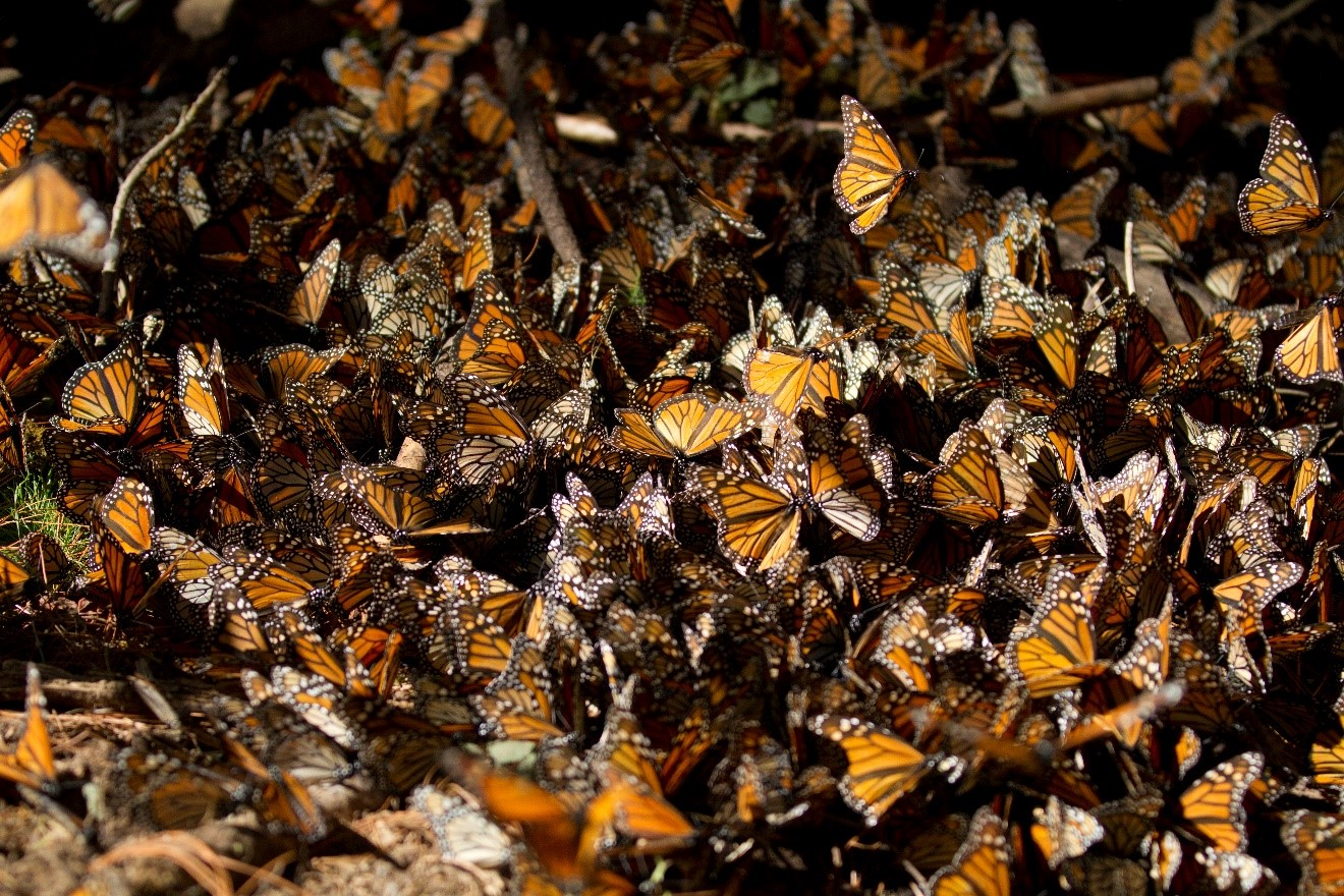a burst of monarchs fly as they migrate and overwinter in mexico