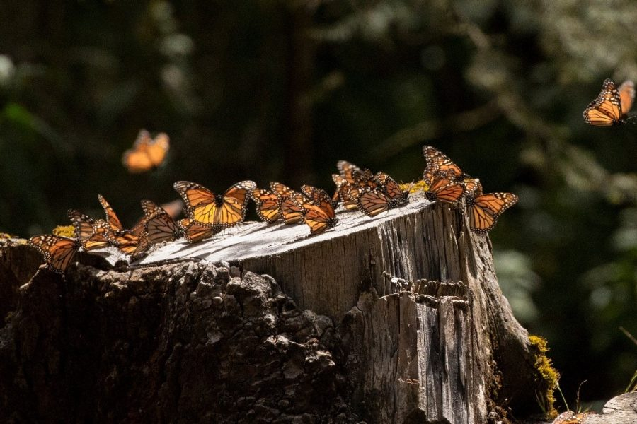 monarch butterflies take flight from a tree trunk