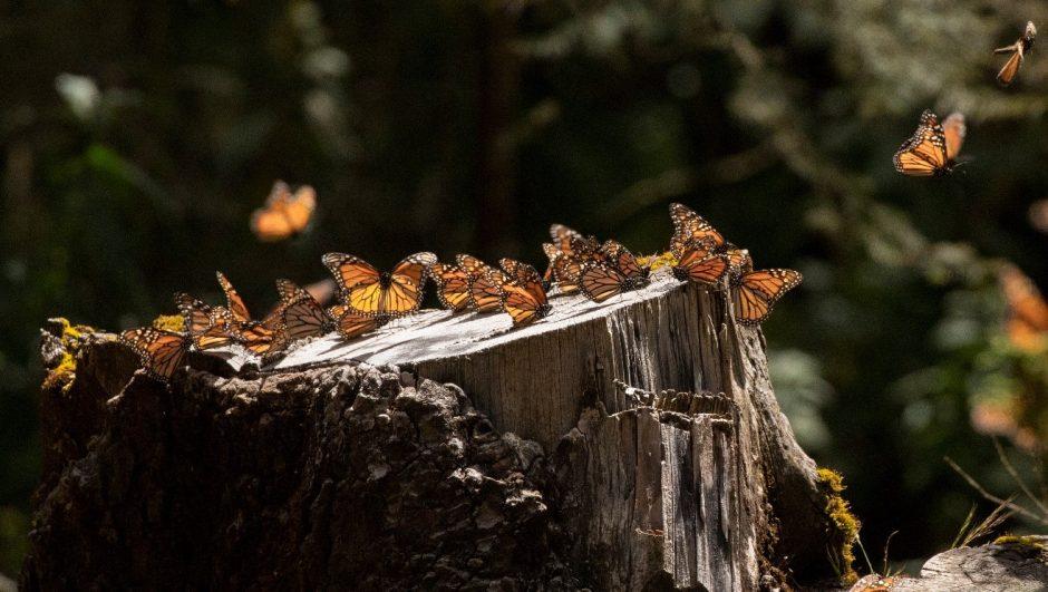 monarch butterflies take flight from a tree trunk