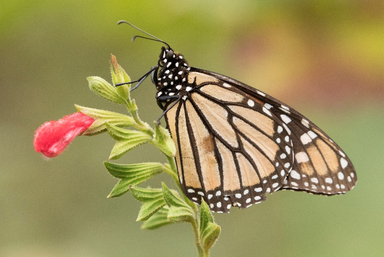 a monarch butterfly perches on a flower in mexico