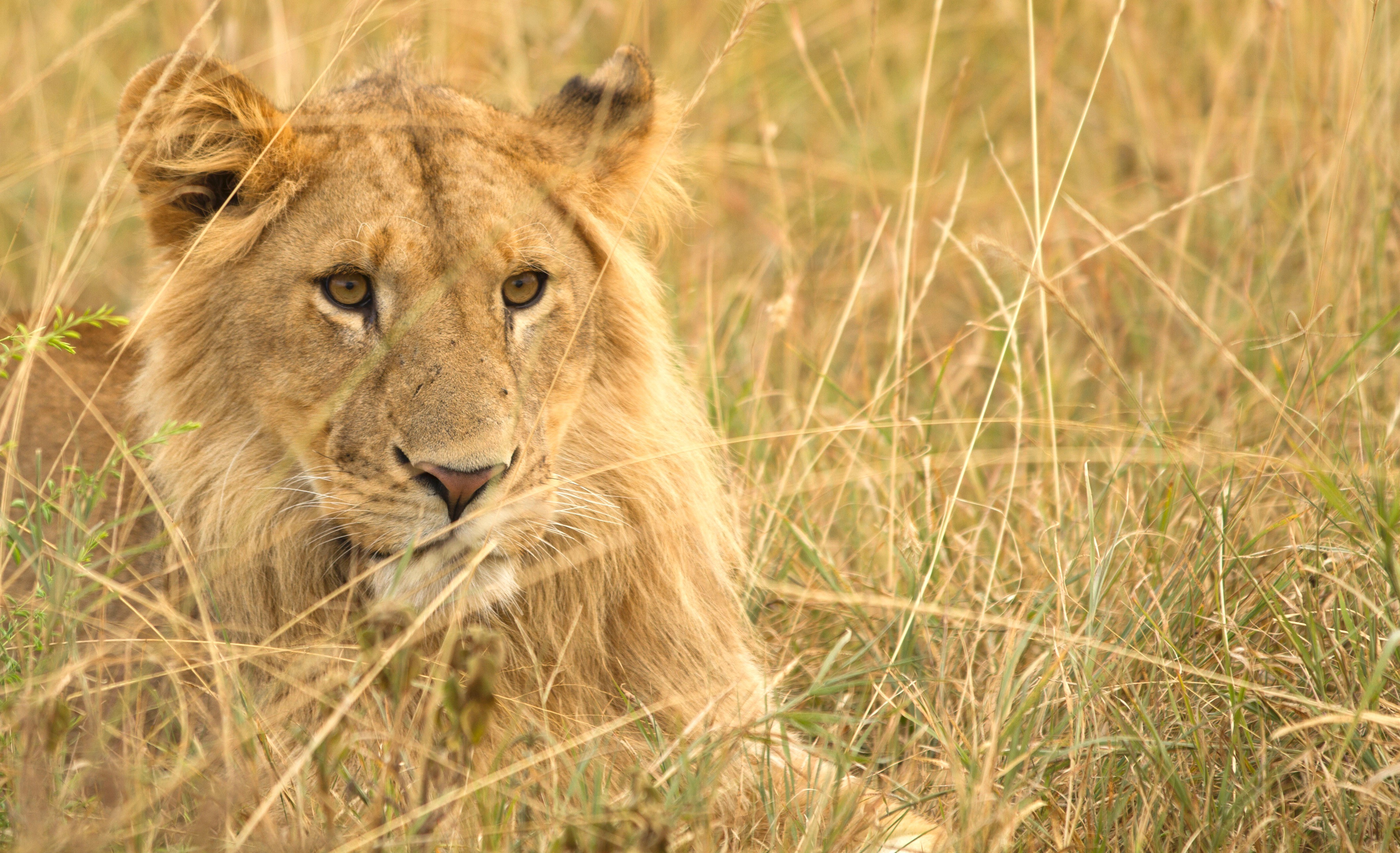 a young male lion rests in the tall grasses of the savanna in east africa