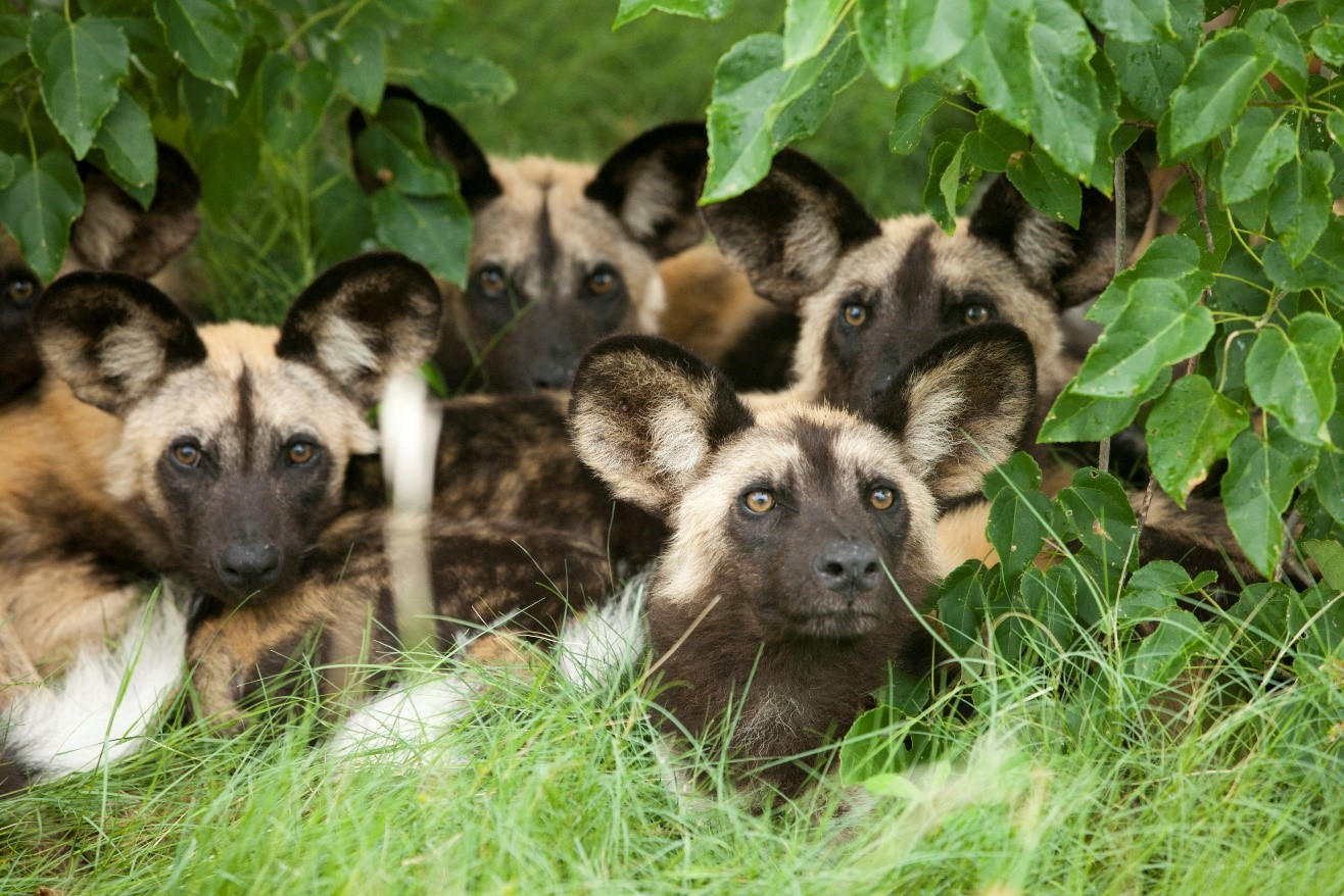 a pack of young wild dogs rests underneath green vegetation in Africa