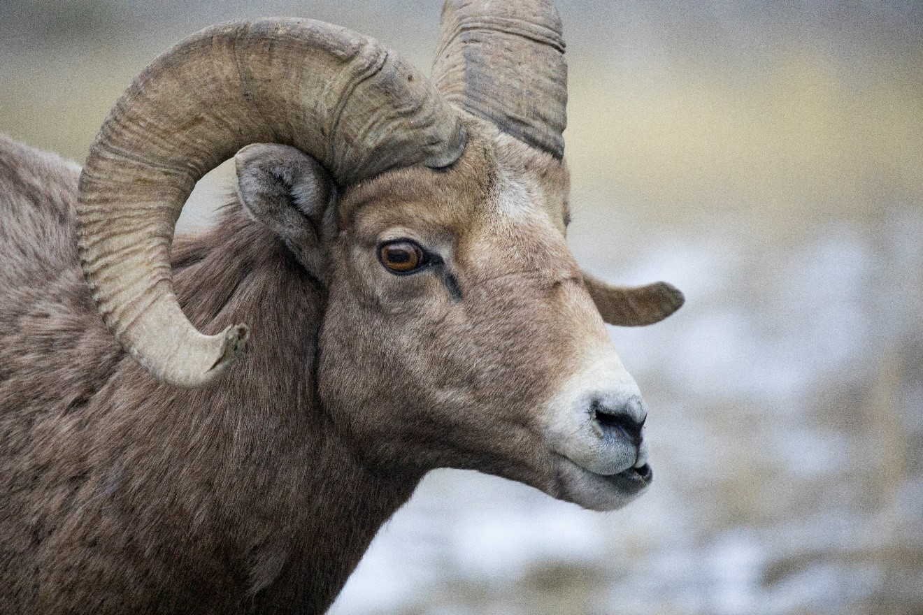 a ram big horn in yellowstone national park provides a great profile photo