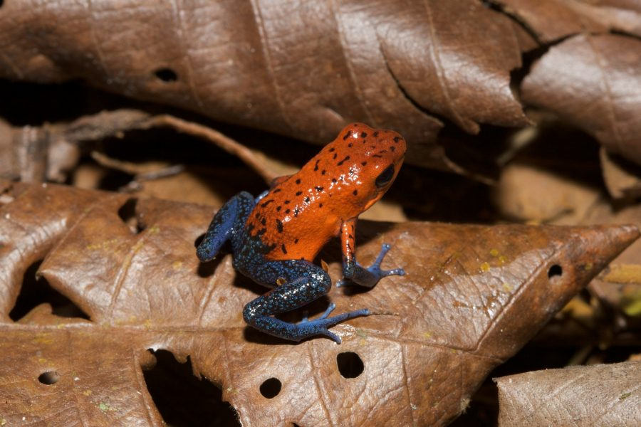 a colorful poison arrow frog rests on a leaf in Costa Rica