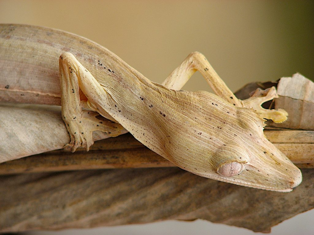 a leaf-tailed gecko sits on a leaf in Madagascar