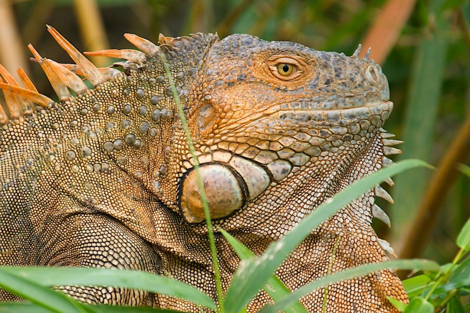 an orange tree iguana perches on a tree in costa rica