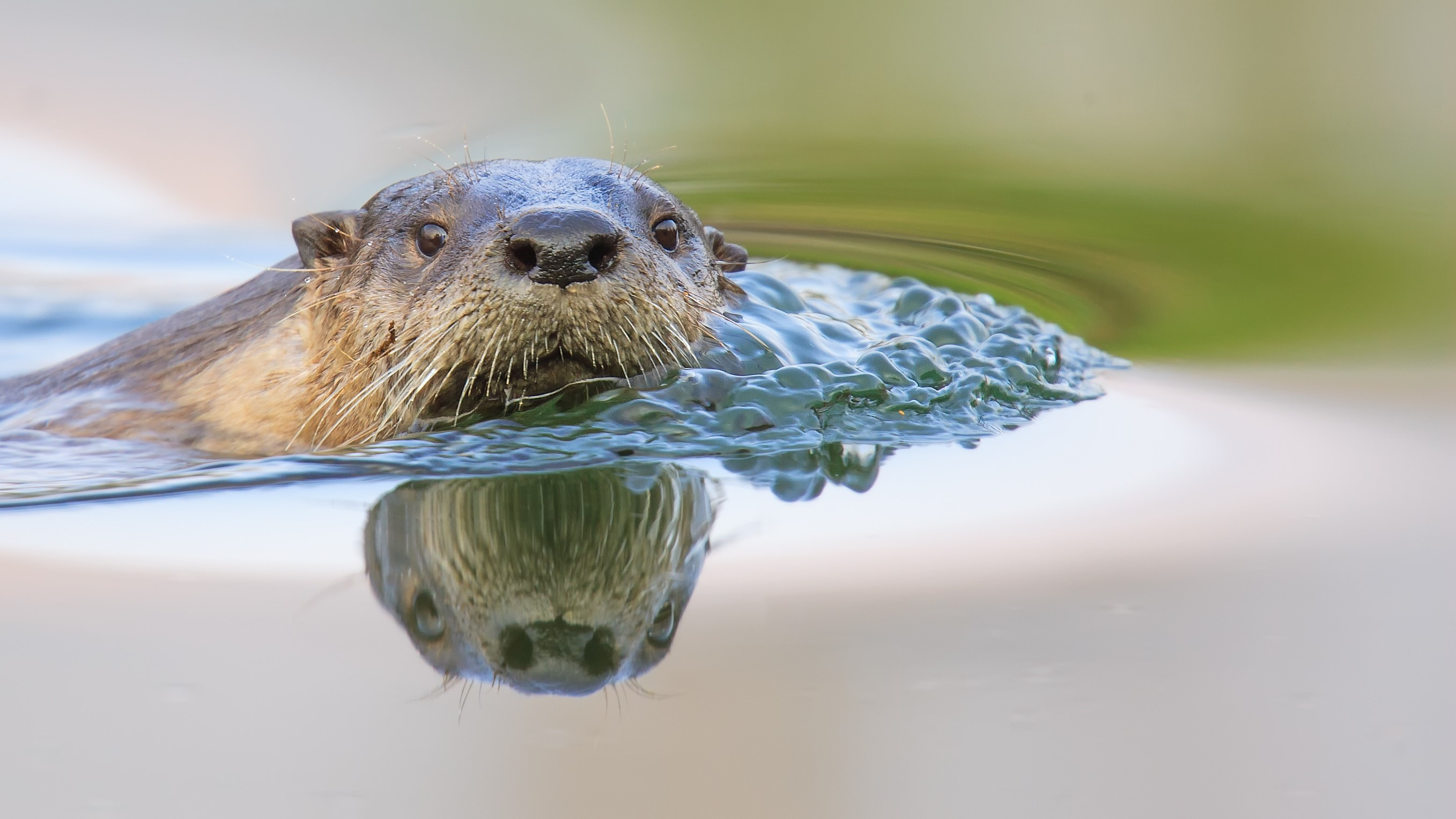 a river otter reflection is cast into the water