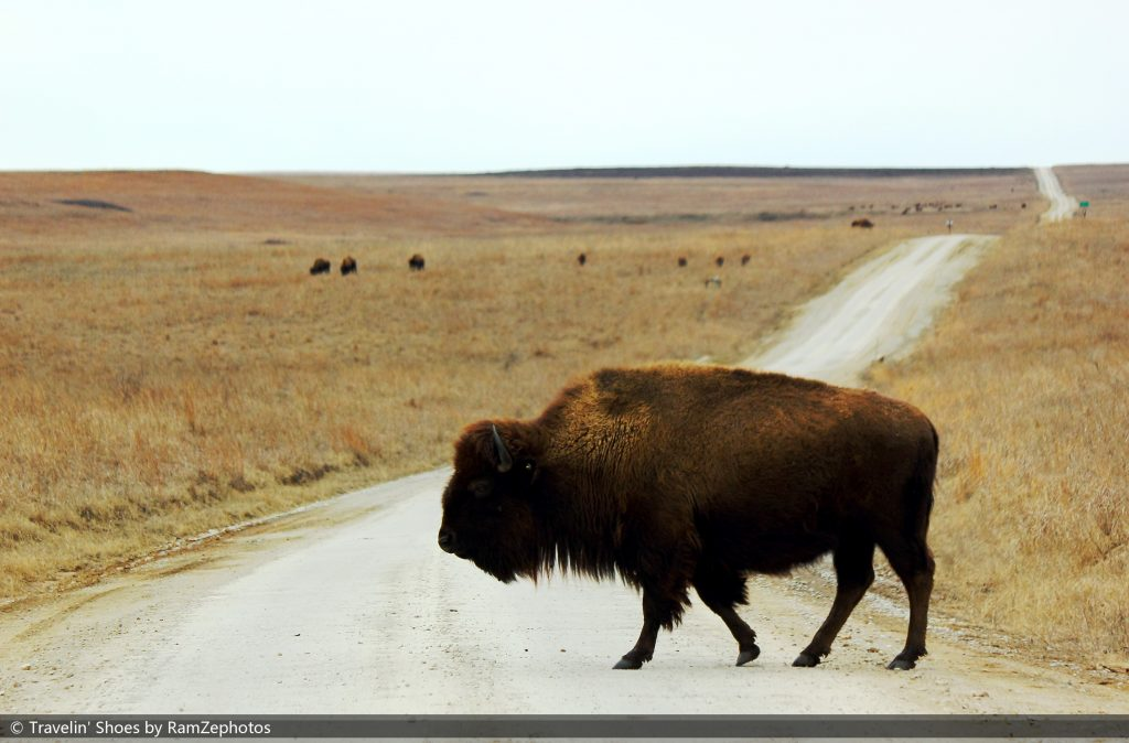 a bison is in the foreground with a beautiful leading line going into the distance