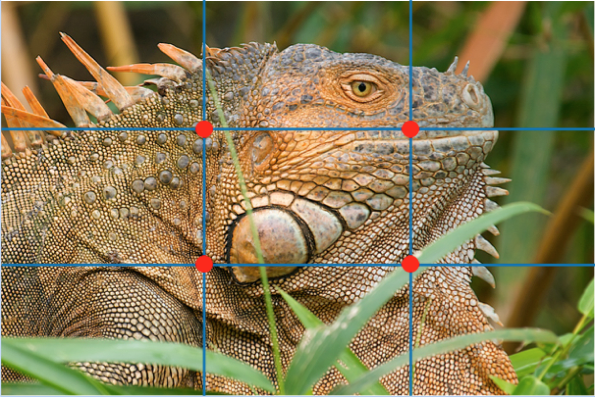 a rule of thirds grid is overlaid on top of a wildlife portrait photo of an iguana in costa rica