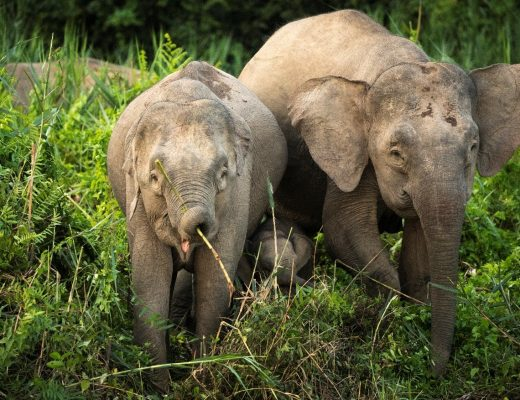 two elephants are riverside in kinabatangan, borneo