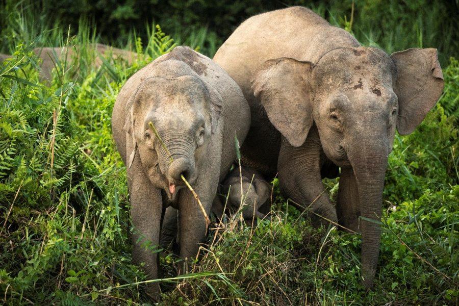 two elephants are riverside in kinabatangan, borneo