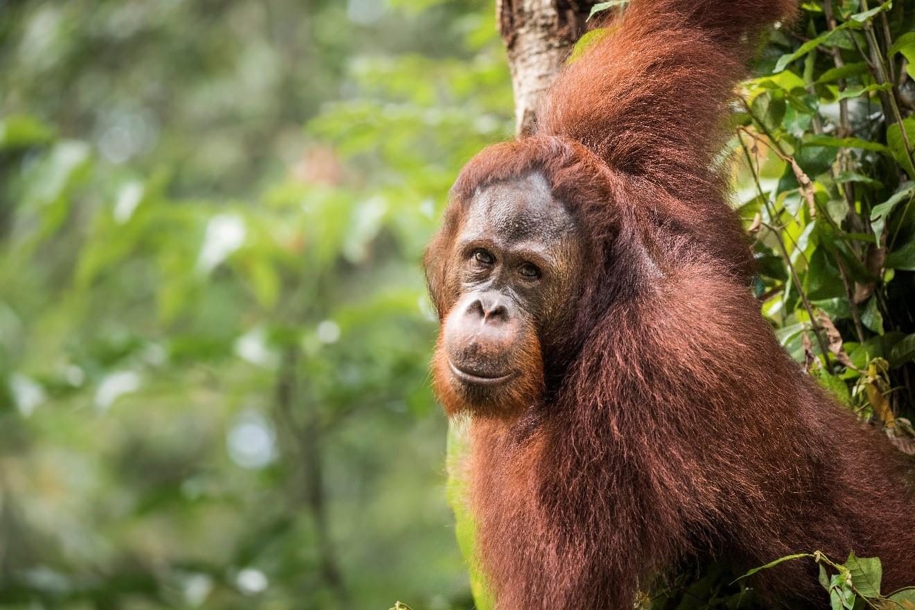 a male orangutan looks at the camera