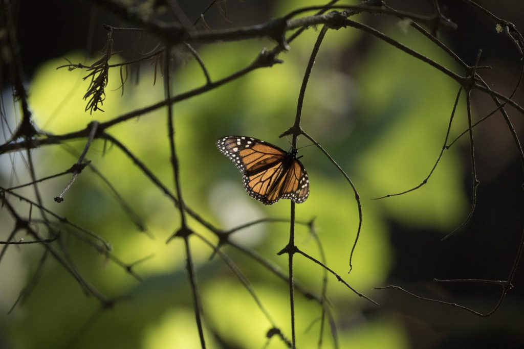 a lone monarch butterfly clings to a branch on a tree