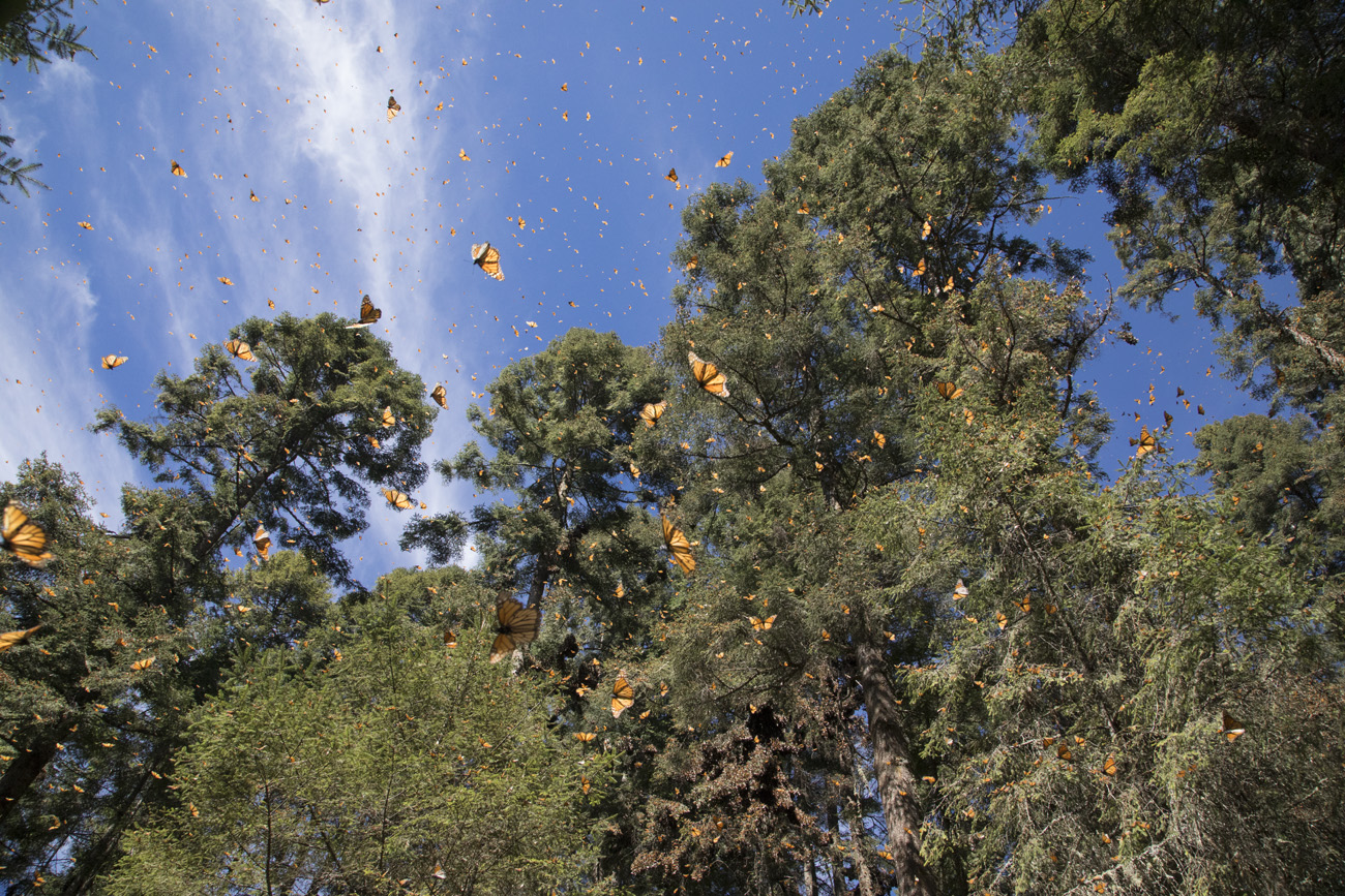 monarch butterflies are soaring through the air