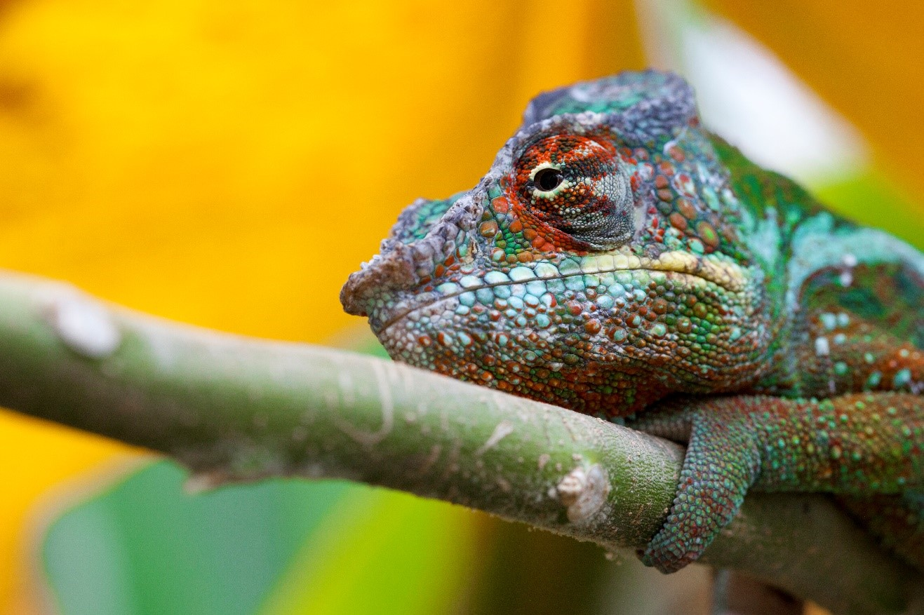 a panther chameleon perches on a branch