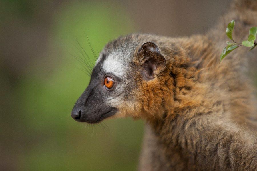 a common brown lemur profile