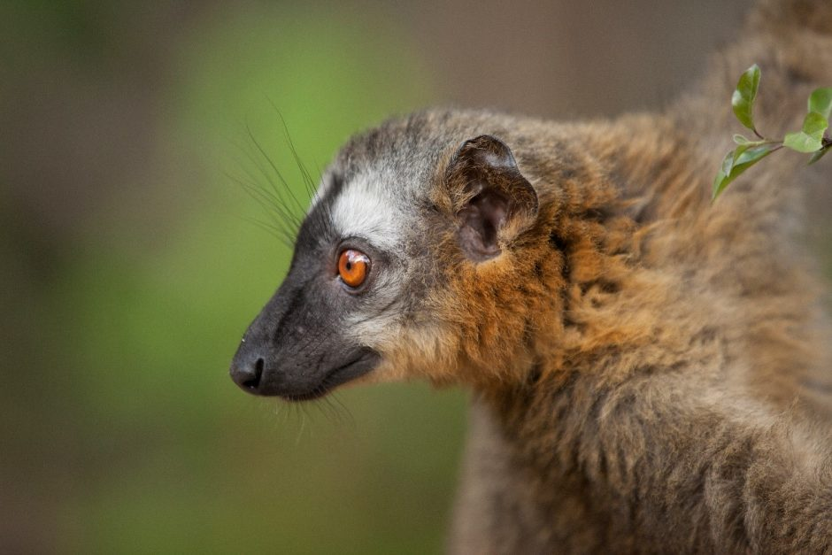 a common brown lemur profile