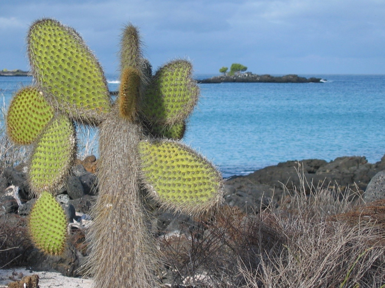 a large green opuntia cactus is on the shore of galapagos islands