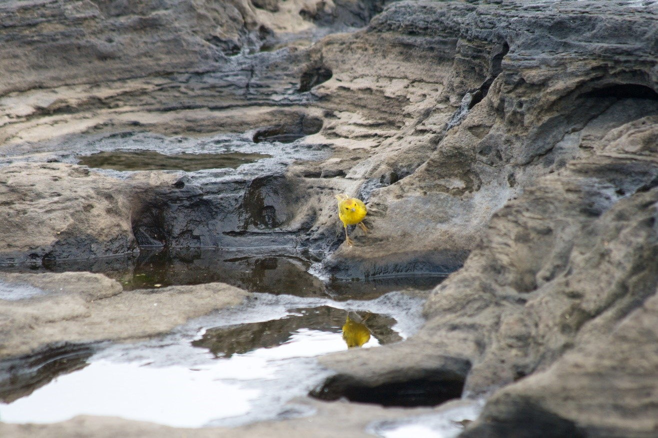 a lone yellow warbler contrasts the stark lava fields of galapagos islands