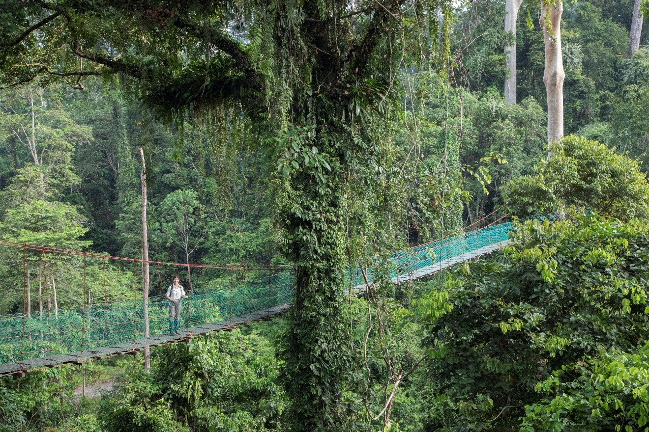 a canopy over the borneo rain forest with a traveler exploring