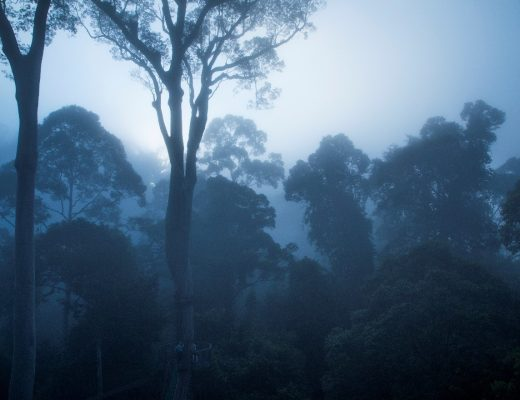a cool blue dawn emerges in the borneo rain forest