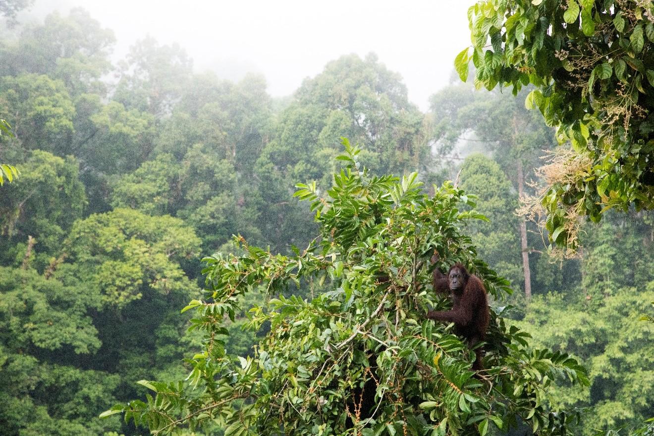 a lone orangutan sits in a tree in the borneo rain forest