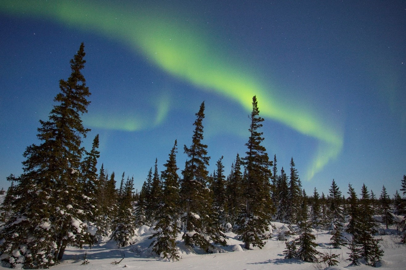 green northern lights appear over the spruce trees of canada's arctic tundra