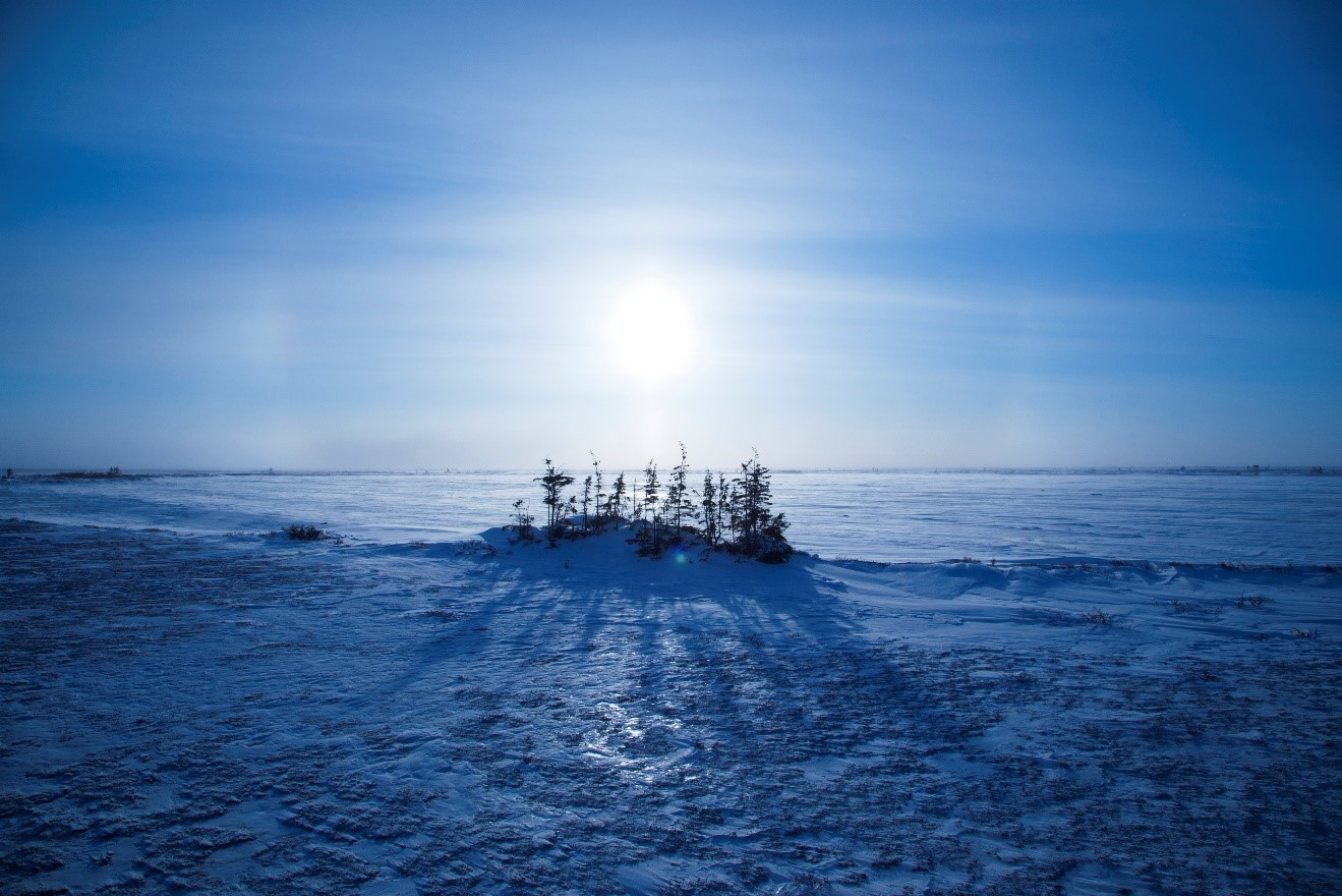 the unique an inhospitable tundra gives rise to a small stand of spruce trees