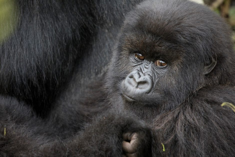 a young mountain gorilla looks at the camera
