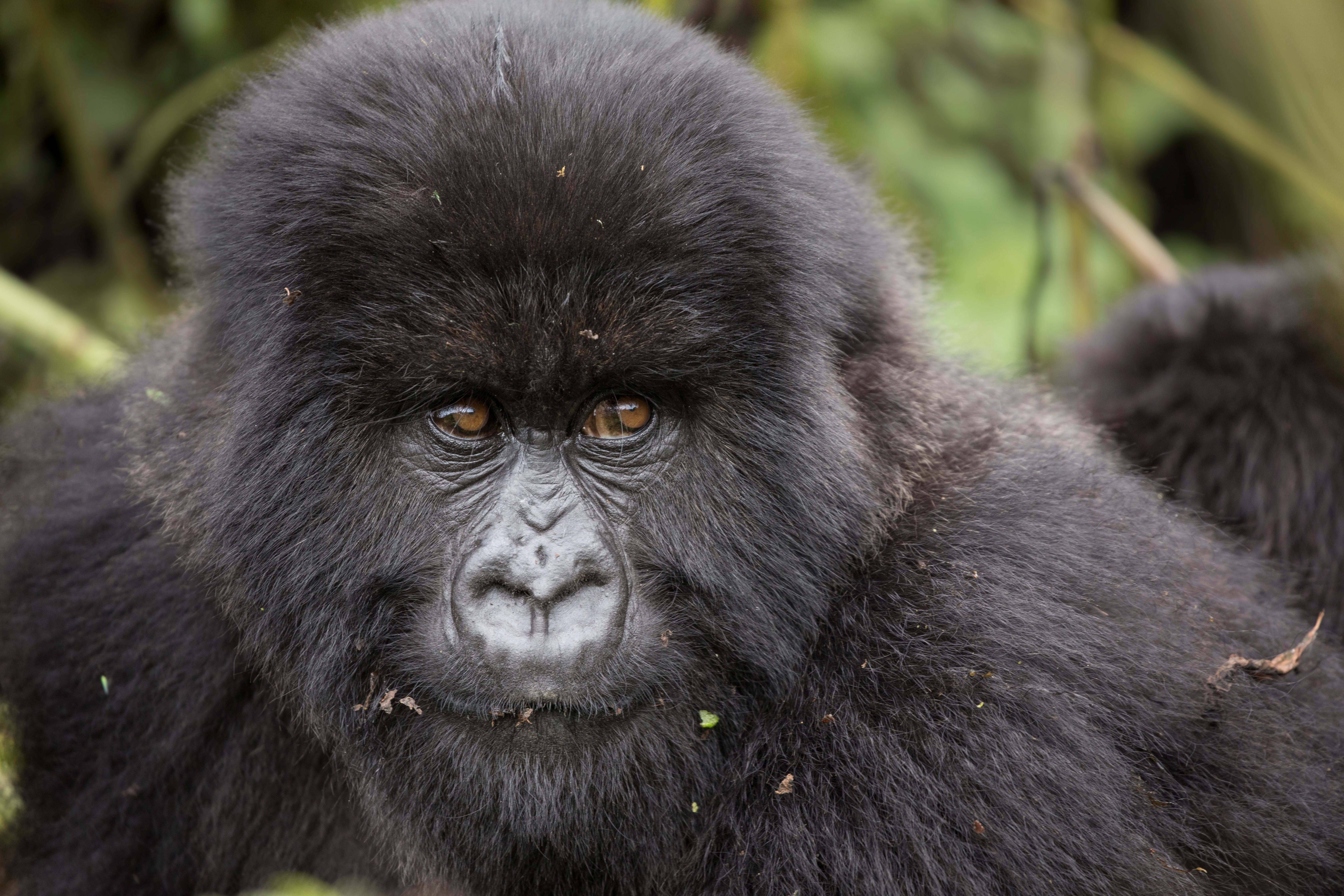 a gorilla eyes the camera in the jungles of uganda