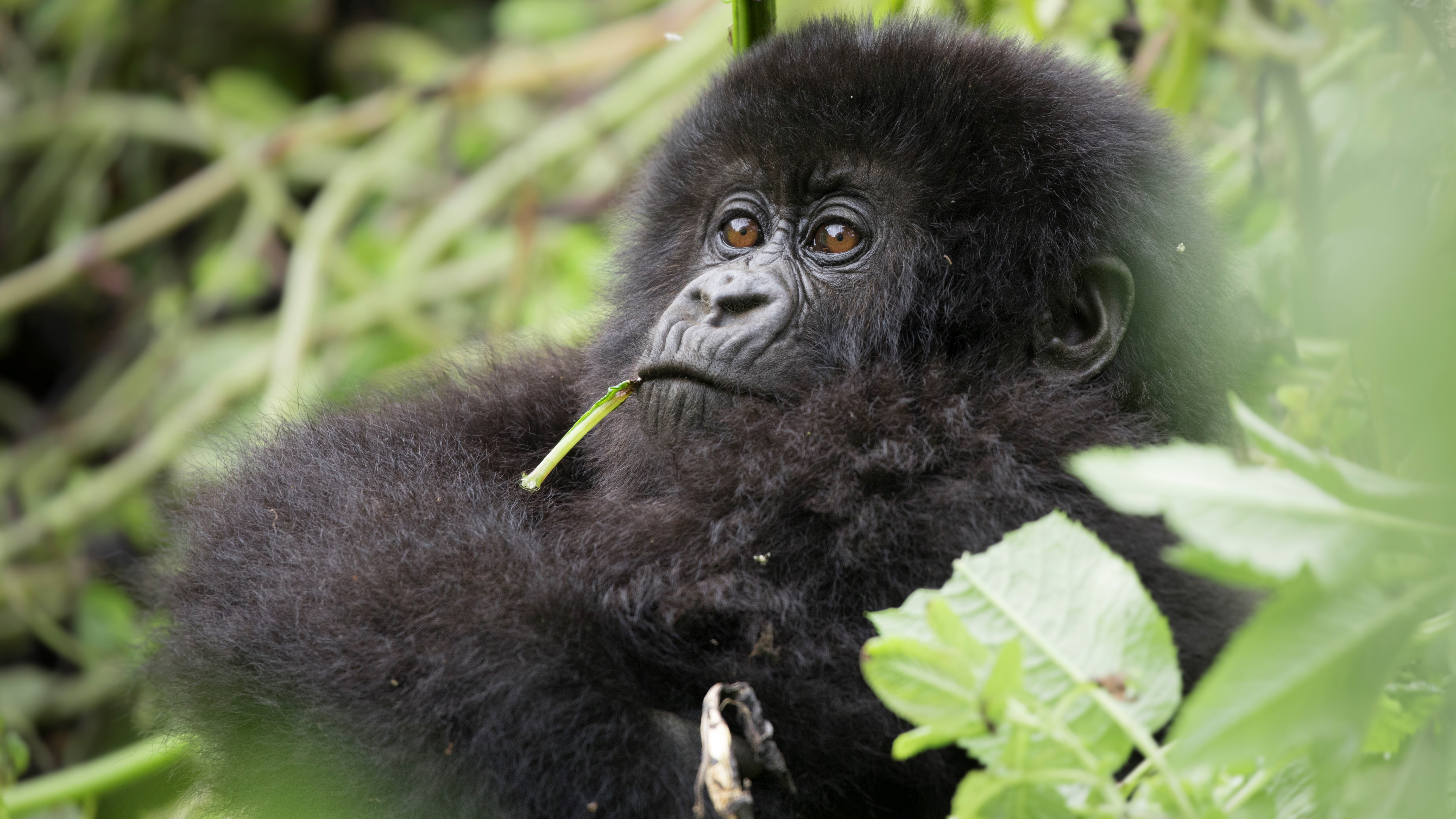 a young mountain gorilla gazes into the distance while being photographed in rwanda