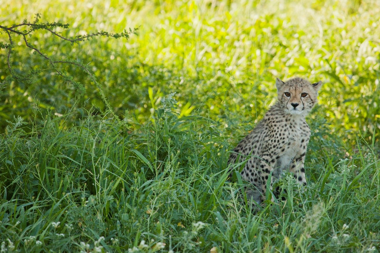 a young cheetah peers through the green grasses of the kalahari in summertime