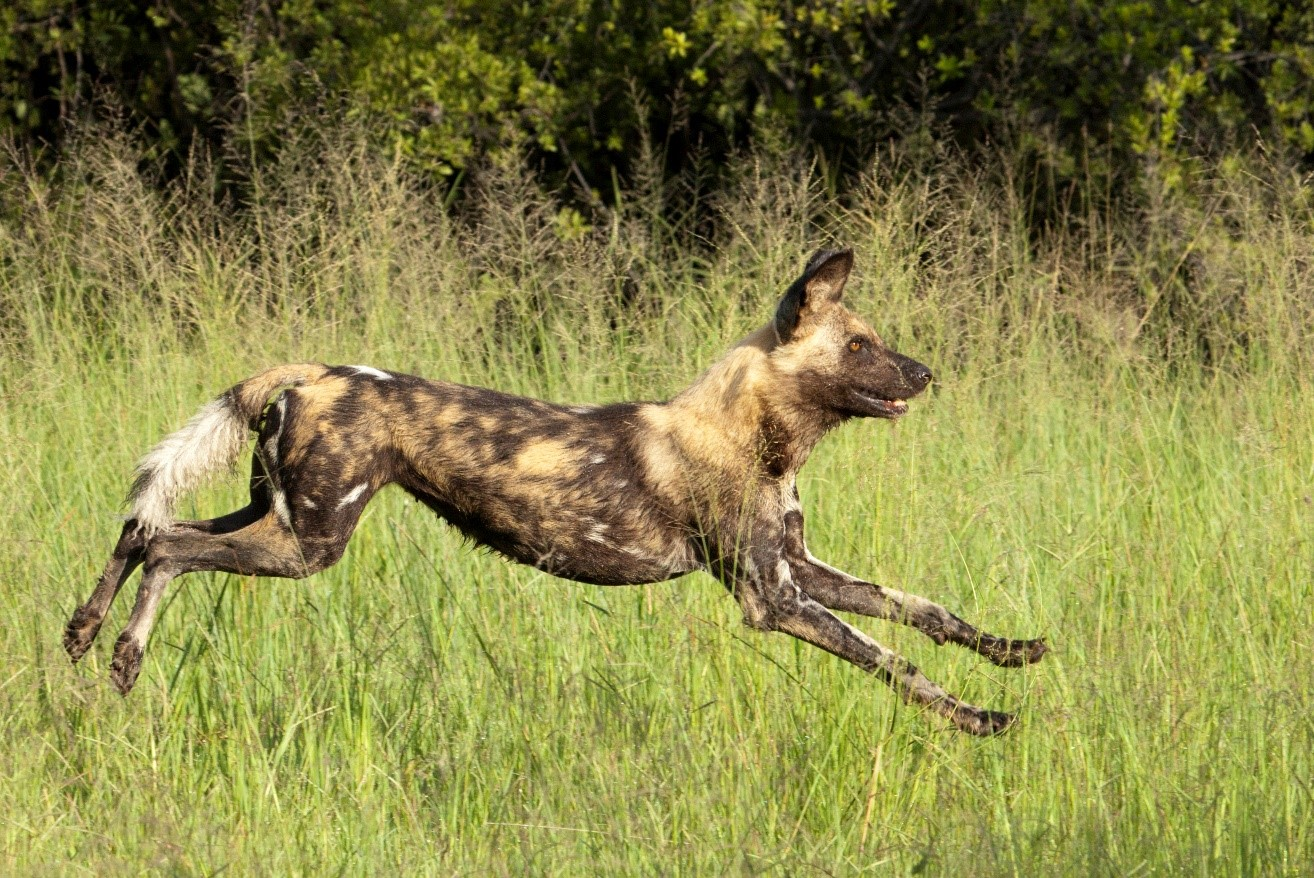 a wild dog is in full stride in the okavango delta