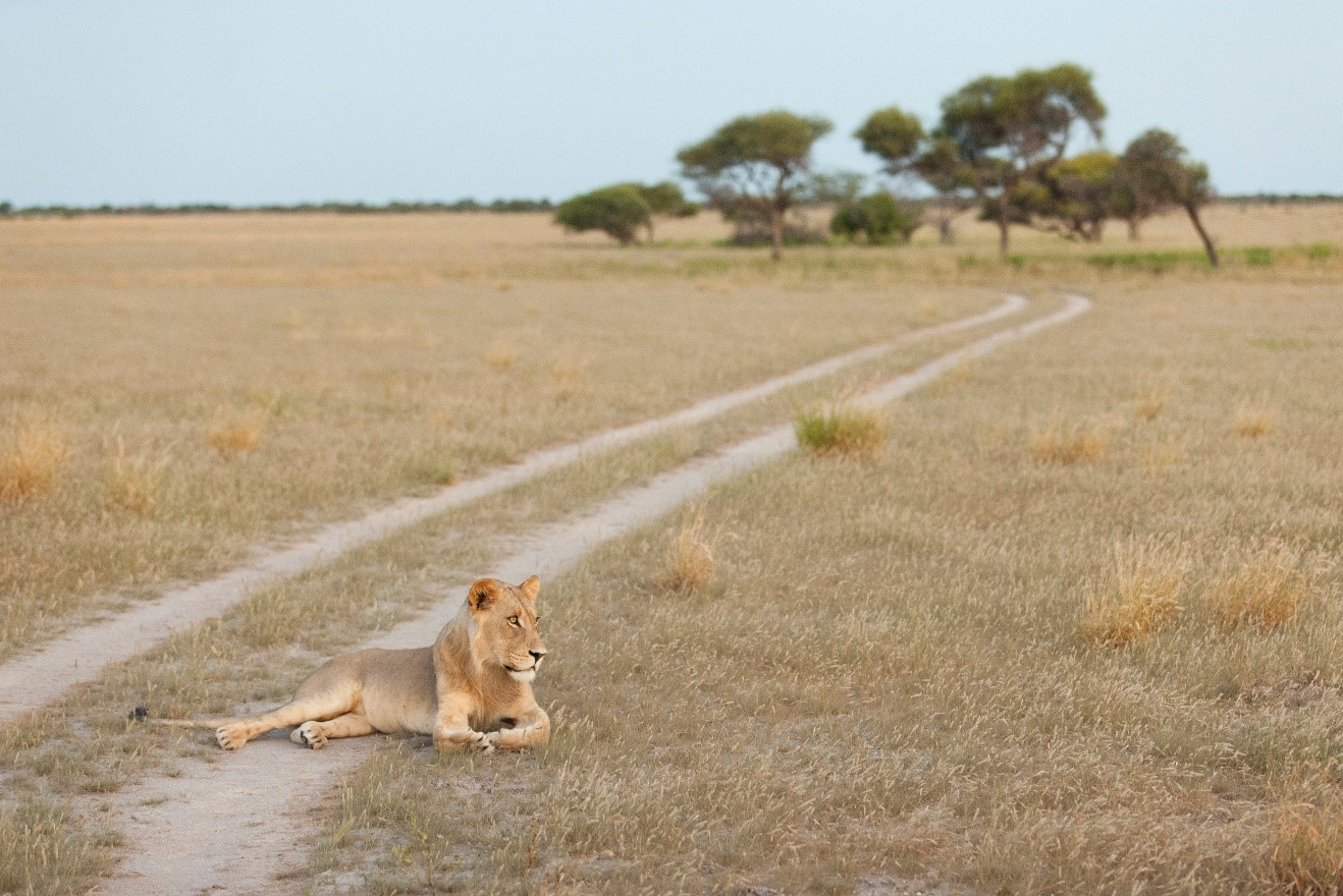 a female lion rests in the grasses along a trail in botswana
