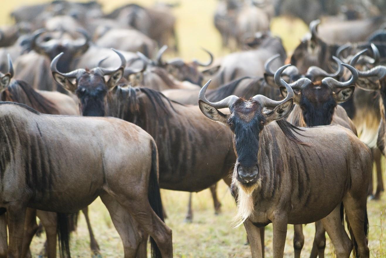 wildebeest cluster in kenya's masai mara