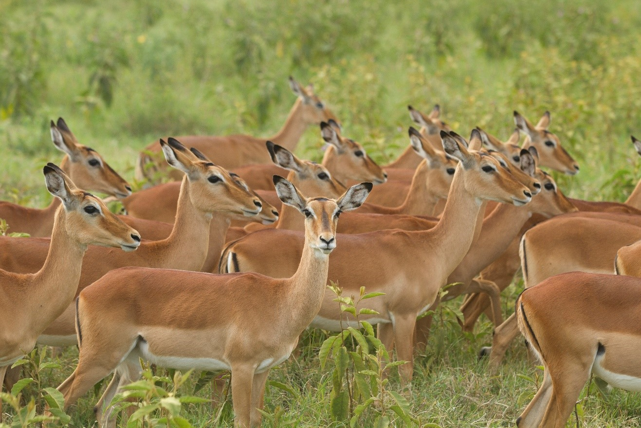 a herd of female impala line up in Kenya