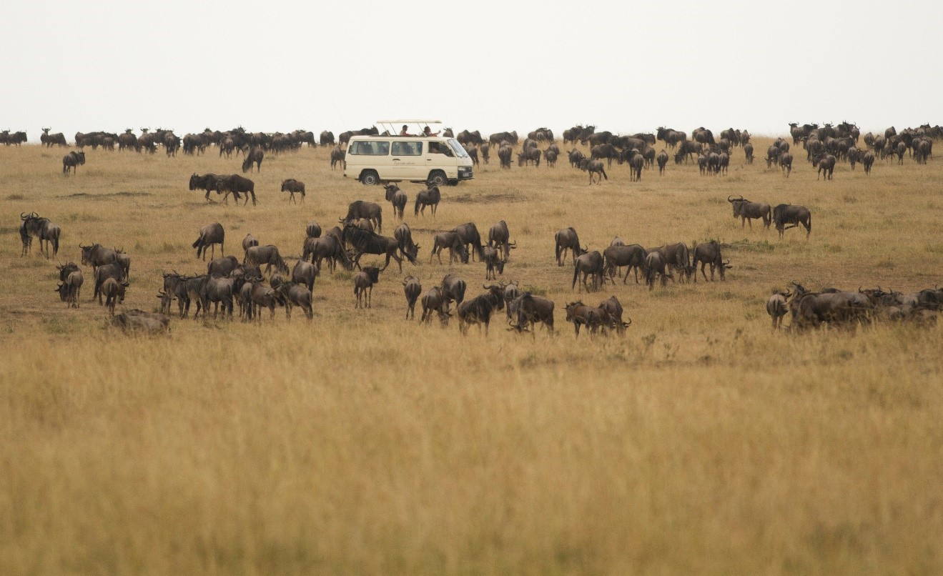 a safari van is amongst a herd of wildebeest in Kenya