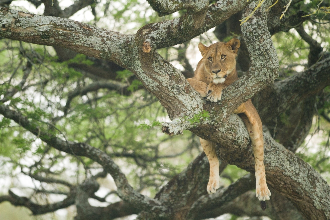 a tree-climbing lion rests in Kenya