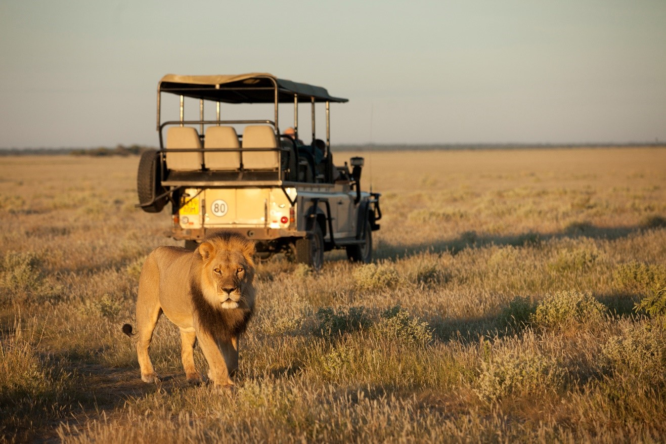 a large male lion walks past a safari jeep in botswana's kalahari