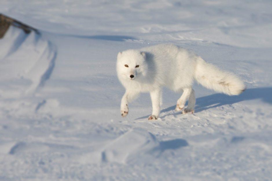 an arctic fox trots toward the camera