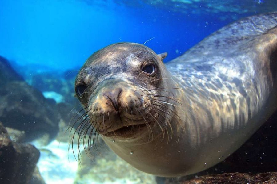 a friendly sea lion explores the photographer in the galapagos islands