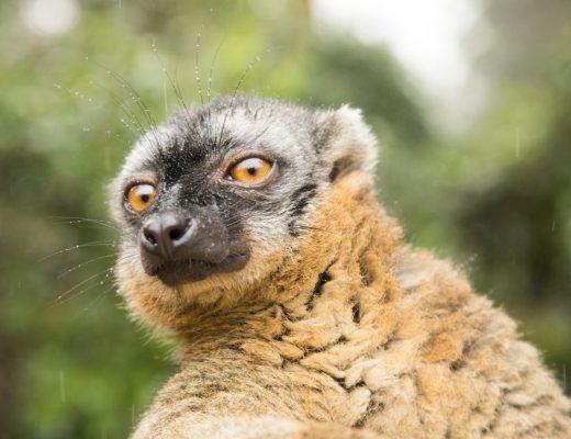 a close-up shot of a brown lemur in madagascar